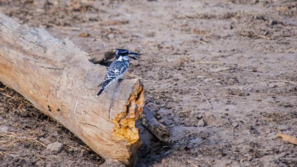 Pied Kingfisher - Botswana Safari Tours