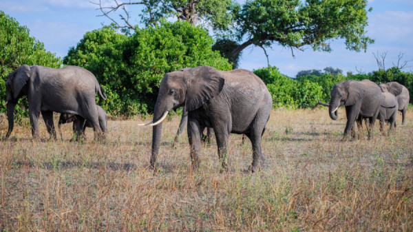 Elephants in the grasslands - Botswana Safari Tours