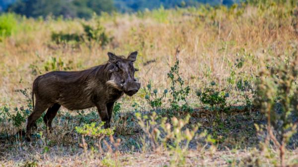 Warthog - Botswana Safari Tours