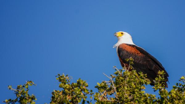 African Fish Eagle - Botswana Safari Tours