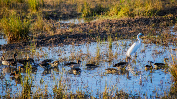 Little Egret - Botswana Safari Tours