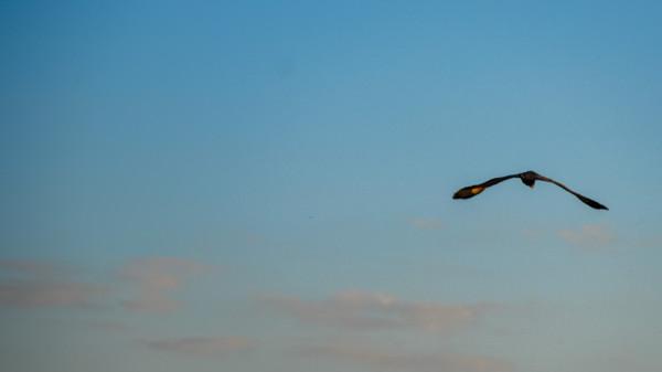 Pelican - Botswana Safari Tours