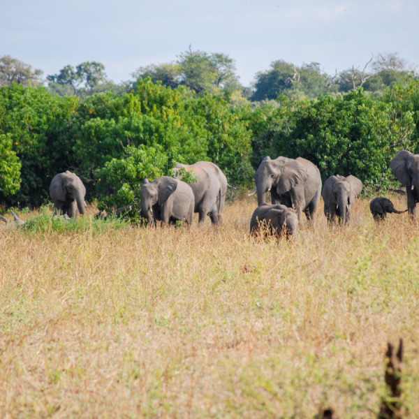 Elephant herd - Botswana Safari Tours