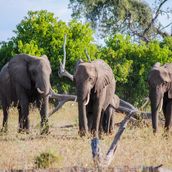 Elephants - Botswana Safari Tours