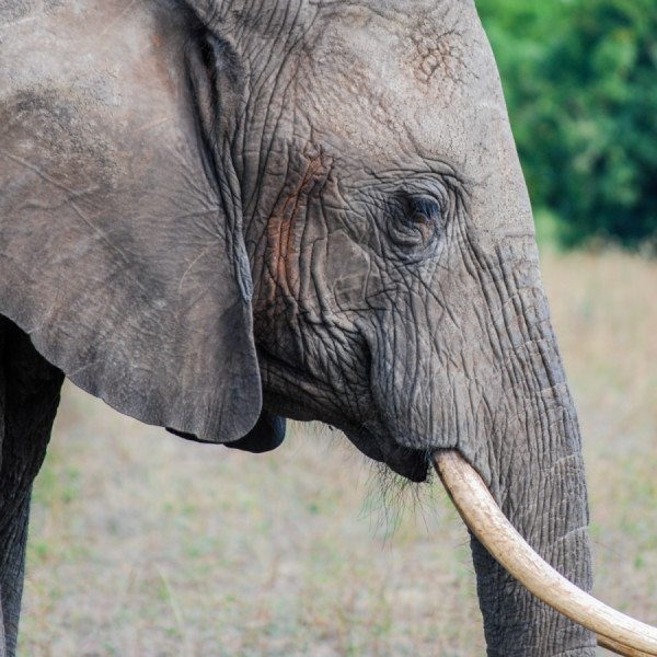Elephant close up - Botswana Safari Tours