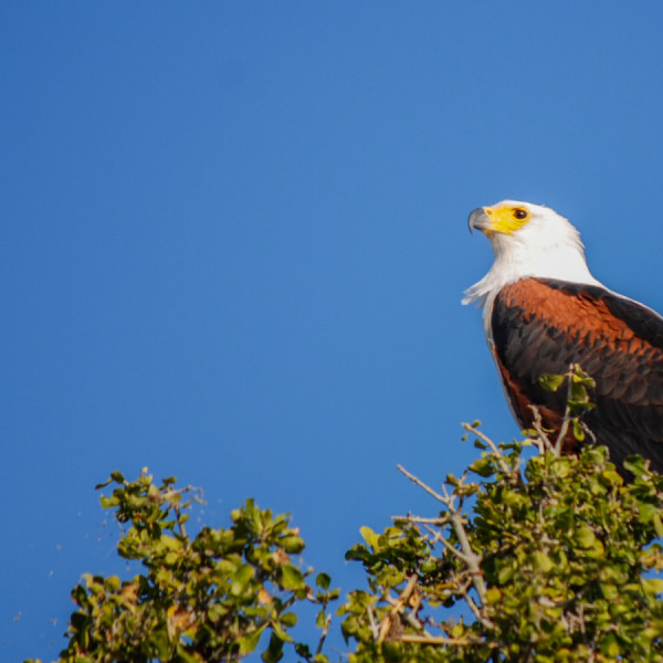 African Fish Eagle - Botswana Safari Tours