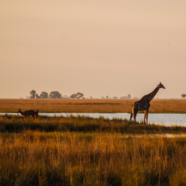 Giraffe in the grasslands - Botswana Safari Tours