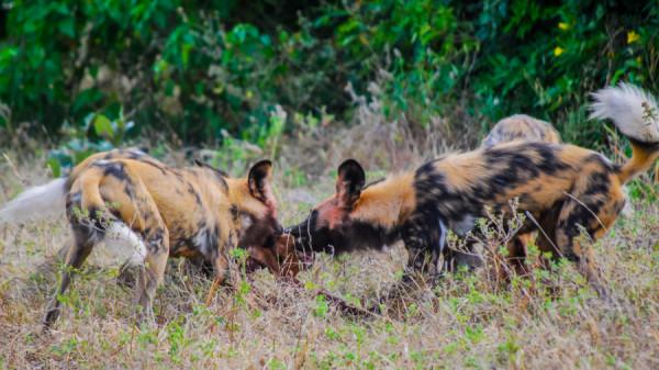 African wild dog - Botswana Safari Tours