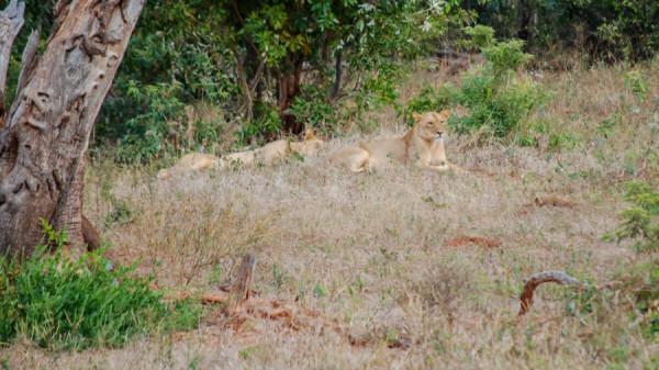 Lions - Botswana Safari Tours