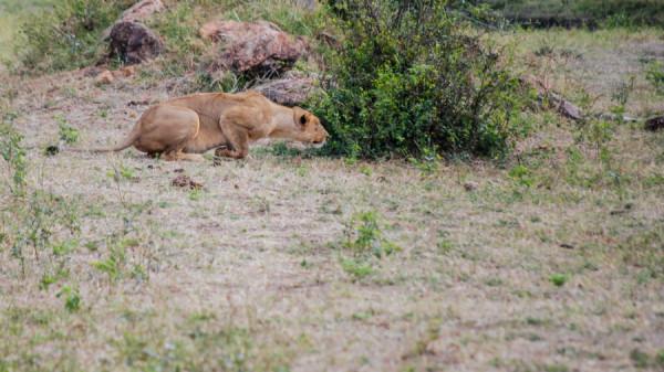 Lioness on the hunt - Botswana Safari Tours