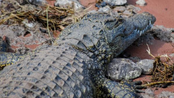 Crocodile - Botswana Safari Tours