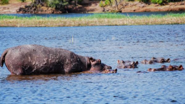 Hippopotamus - Botswana Safari Tours