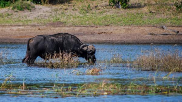 African Buffalo - Botswana Safari Tours