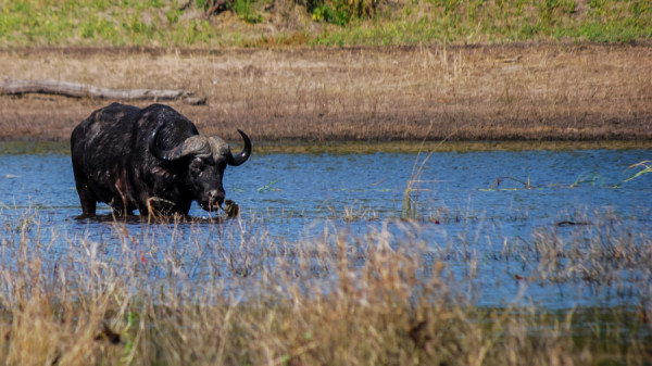 African Buffalo - Botswana Safari Tours