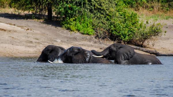 Bathing Elephants - Botswana Safari Tours