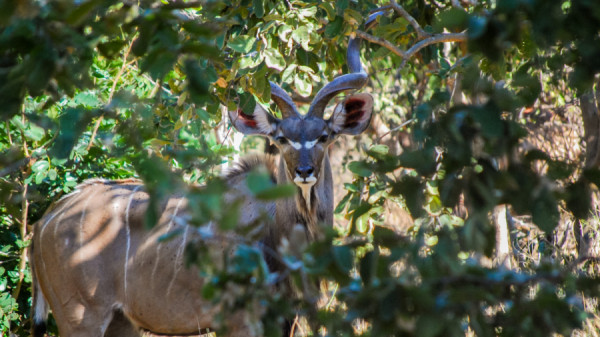 Greater kudu - Botswana Safari Tours