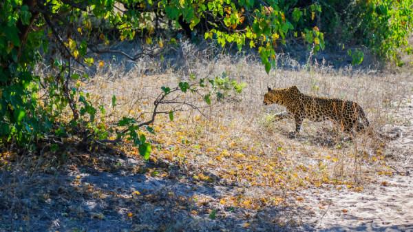 South African cheetah - Botswana Safari Tours