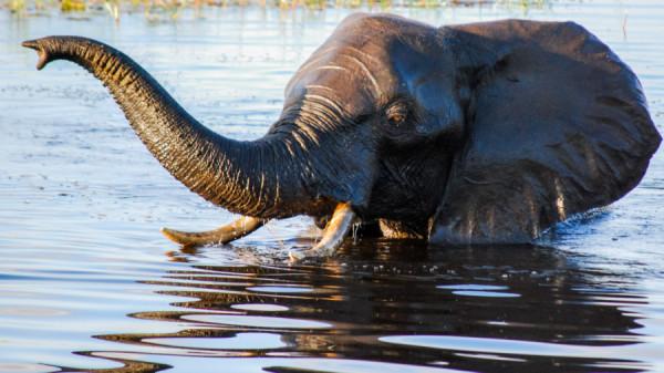 Bathing Elephant - Botswana Safari Tours