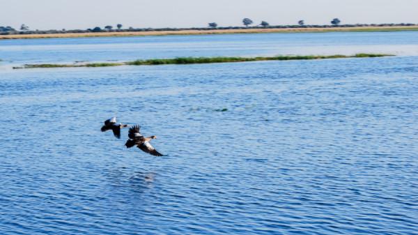 Birds in flight over Okavango Delta