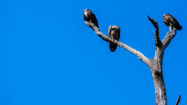 Vultures in dead tree on the riverbeds of Savuti channel