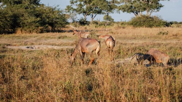 Topi - Botswana Safari Tours