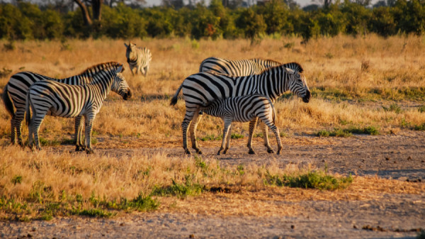 Zebra foal eating
