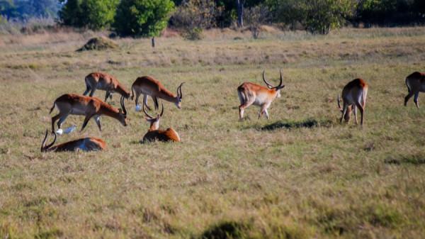 Lechwes - Botswana Safari Tours