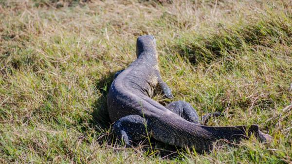 Monitor lizard - Botswana Safari Tours