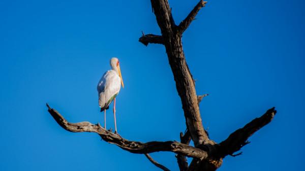 Yellow Billed Stork - Botswana Safari Tours