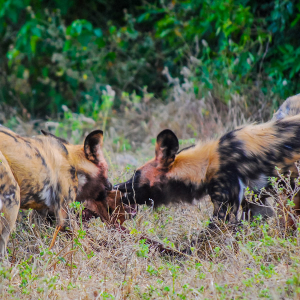 African wild dog - Botswana Safari Tours