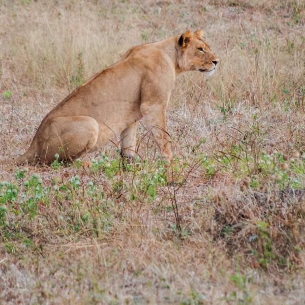 Lioness - Botswana Safari Tours