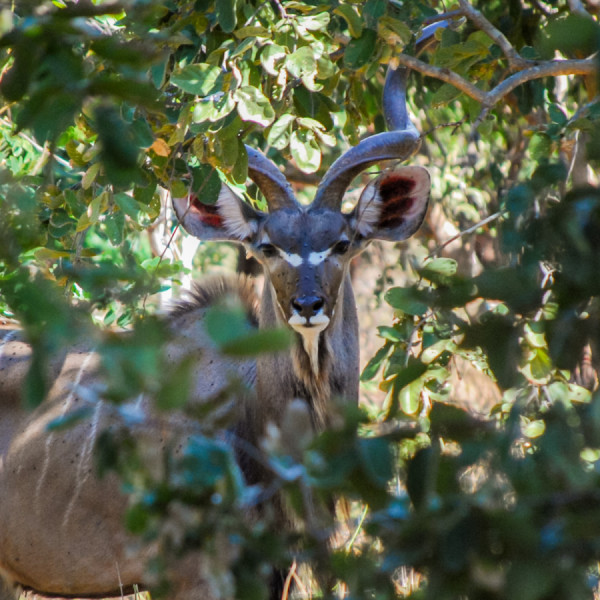 Greater kudu - Botswana Safari Tours