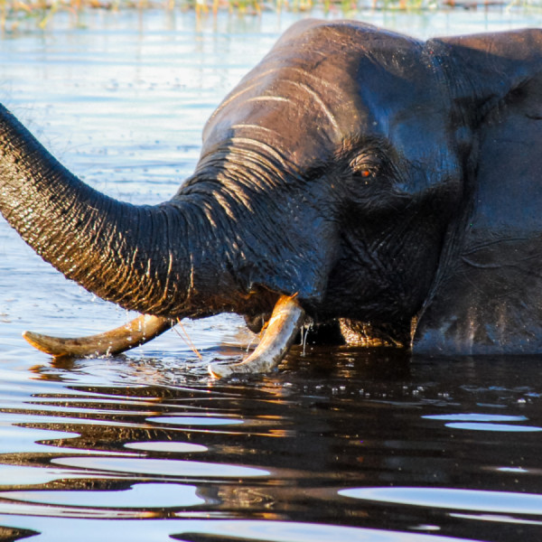 Bathing Elephant - Botswana Safari Tours