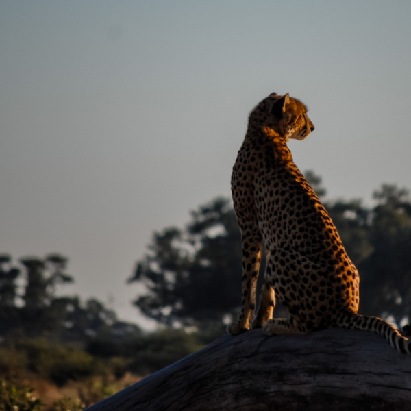 South African cheetah - Botswana Safari Tours