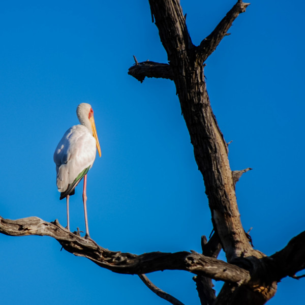 Yellow Billed Stork - Botswana Safari Tours